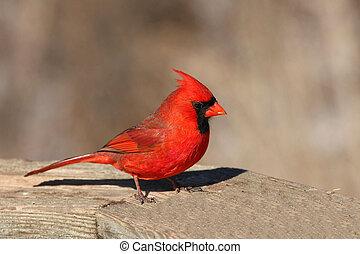Cardinal Cardinalidae - cardinal Cardinalidae male in ...
