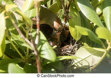 Cardinal chicks being fed by mother in birds nest - A female...
