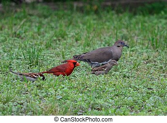 Cardinal, Dove and Sparrow Close up