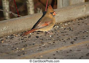 Cardinal female - Cardinal Cardinalidae female in late fall ...