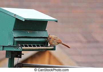 cardinal-female, voeder