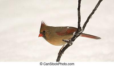 cardinal, hembra, norteño