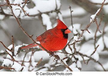 Cardinal In Snow - Male Northern Cardinal (cardinalis ...