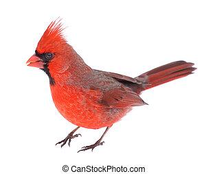 Male northern cardinal, Cardinalis cardinalis, isolated on white