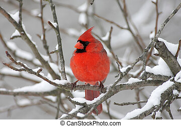 cardinal, neige