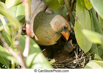 Cardinal newborns mother in the nest taking care of them - A...