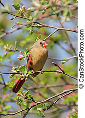 cardinal, nord