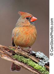 Cardinal On A Branch - Female Northern Cardinal (cardinalis...
