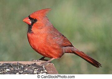 Cardinal on a Feeder - Male Northern Cardinal (cardinalis)...