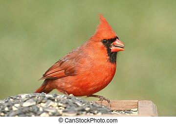 Cardinal on a Feeder