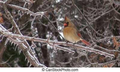 Cardinal on ice covered branch