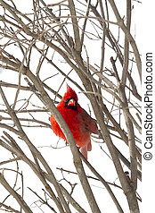 Cardinal Perched In Branches
