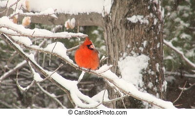 Cardinal perched on a branch