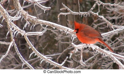 Cardinal perched on a branch following a heavy winter storm