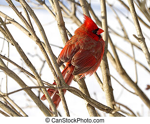 Cardinal Protecting by Branches