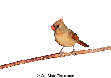 cardinal relaxes on a branch