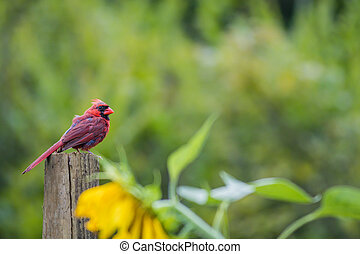 Cardinal watch over sunflower garden - Male Cardinal (...