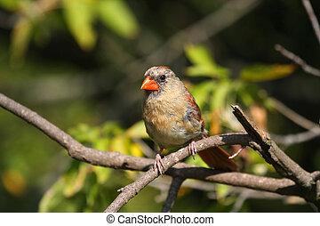 cardinale, femmina