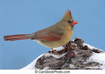 cardinale, neve