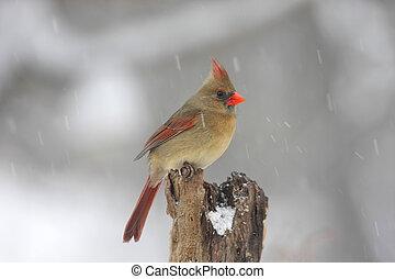 cardinale nordico, in, neve