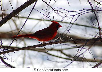 Cardinalis cardinalis in back lighting