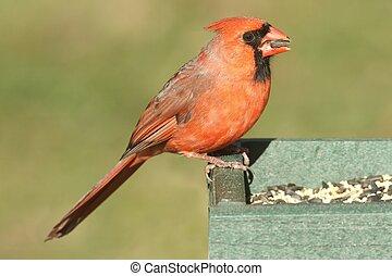 (cardinalis), mannelijke , kardinaal, noordelijk, voeder