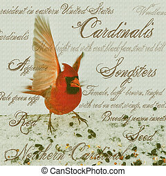 Cardinalis - Photo and graphic red cardinal with descriptive...
