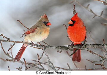 Cardinals In Snow - Pair of Northern Cardinal (cardinalis...