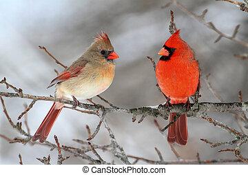 Pair of Northern Cardinal (cardinalis cardinalis) in a tree