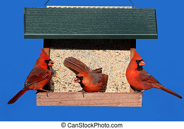 Cardinals on a Feeder - Male Northern Cardinalis...
