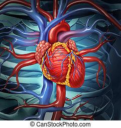 cardiovascular, corazón, humano