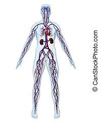 cardiovascular systeem