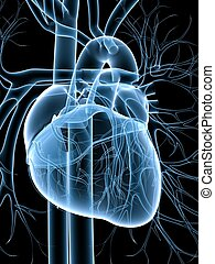 cardiovascular system - 3d rendered illustration of a...