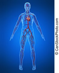 3d rendered illustration of a transparent human body with vascular system