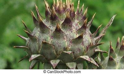 Cardoon, Cynara cardunculus closue up bud + pan purple bloom