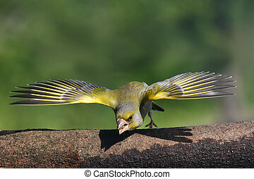 Carduelis chloris defender its territory