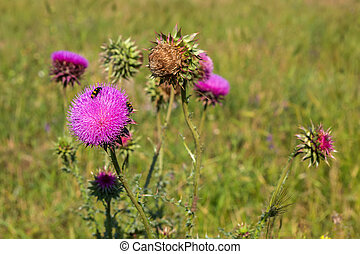 Carduus or plumeless thistles. Beautiful and rich nature of...