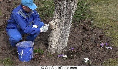 Careful gardener whitening fruit apple tree trunk with special liquid