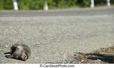Careless Pedestrian - Hedgehog as a pedestrian was killed...