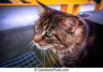 caresser transporteur, chat coon maine