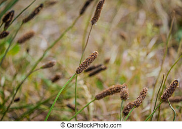 Carex limosa is a plant with red head and a long stem known ...