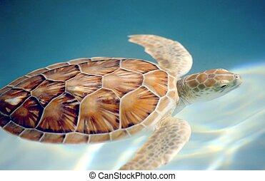 Carey turtle motion blur swuimming underwater
