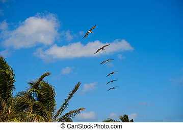 Caribbean pelicans flying in a row