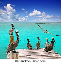 caribbean, pelikán, türkiz, tengerpart, tropikus, tenger