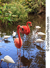 Caribbean Pink flamingo Phoenicopterus ruber in a pond in ...