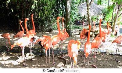 Caribbean pink flamingo. Phoenicopterus ruber. - Caribbean...