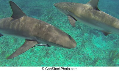 Caribbean reef sharks - Beautiful full HD footage of curious...