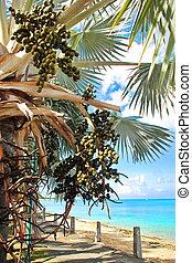 Caribbean Sea Grapes