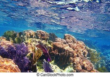 caribbena, coloré, riviera, corail, maya, récif