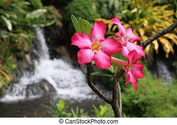 caribe, adenium, flores